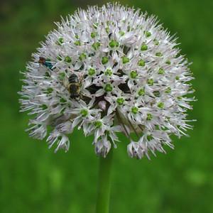 Allium grande