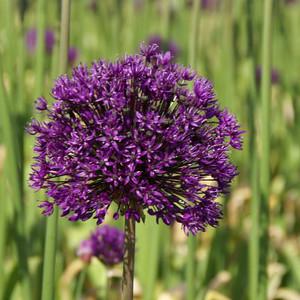 Allium 'Purple Surprise'