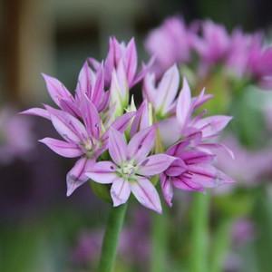 Allium'Eros'