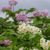 Potetplante i blomst