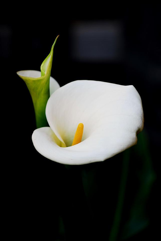 Calla Lily - White1