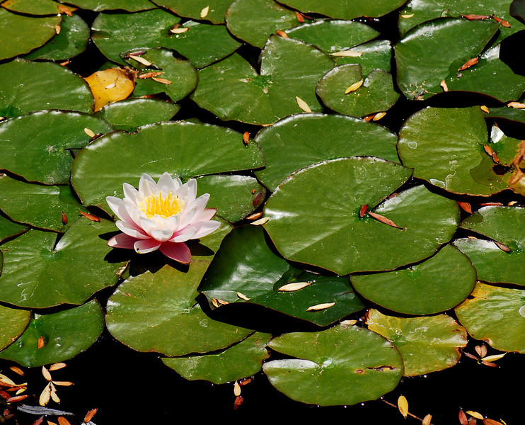 Lily Pad - The Shy One - Rideau