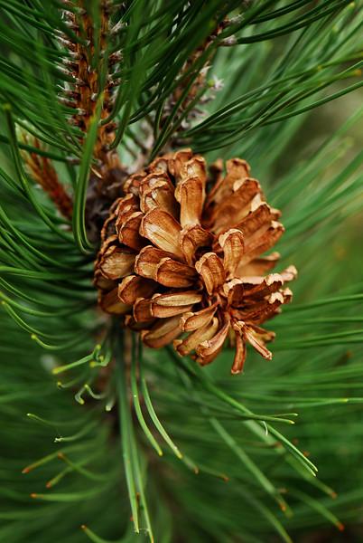 Pine Cone1