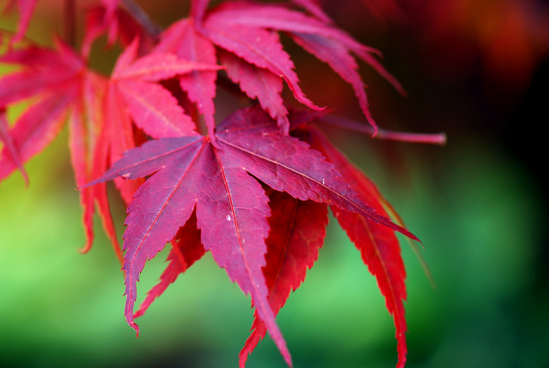 Japanese Maple1