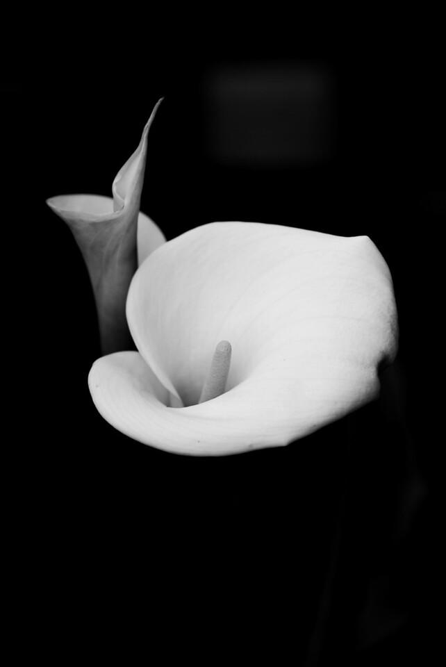Calla Lily - White1- B&W