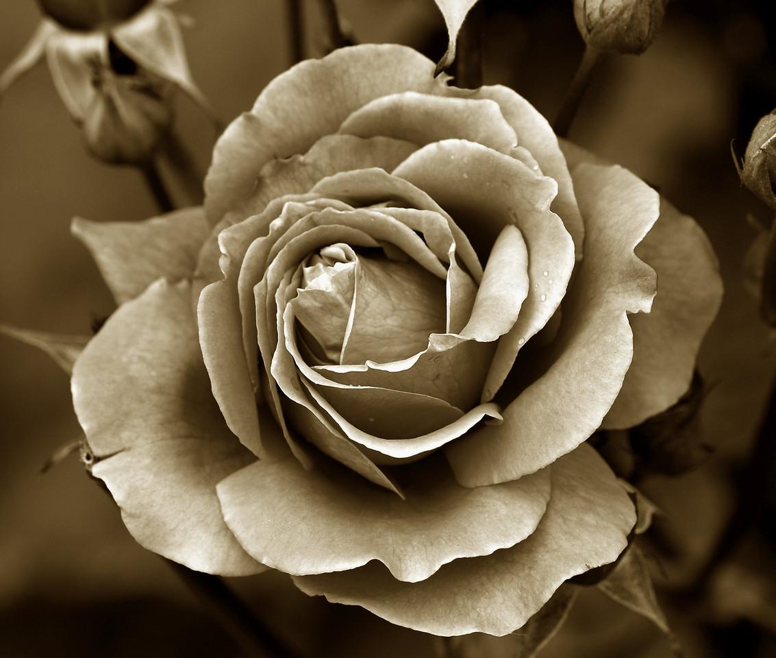 Rose - Frosted Elegance