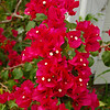 Bougenvillia plant at our next door neighbor's house is a riot of color.