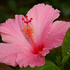 Hibiscus viewed from a different angle by afternoon light.