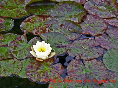 Water Lily Solo