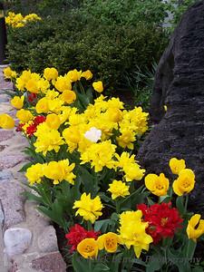 Tulip Lined Walkway