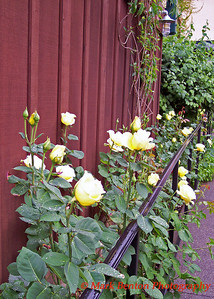 Yellow Rose Walkway
