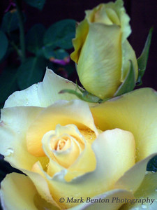 Today & Tomorrow Yellow Roses