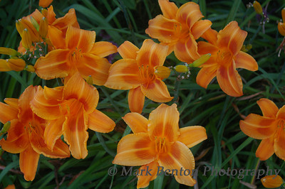 Roar of the Tiger Lilies