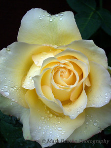 After A Summer Rain Yellow Rose