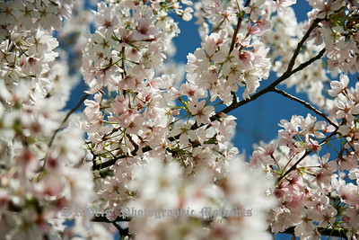 blossoms-6