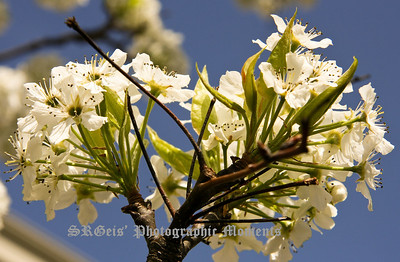 blossoms-4