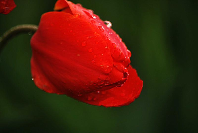 Tulips-Rain 008-B