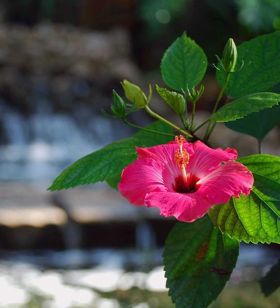 Hibiscus-SanAnt-130-C