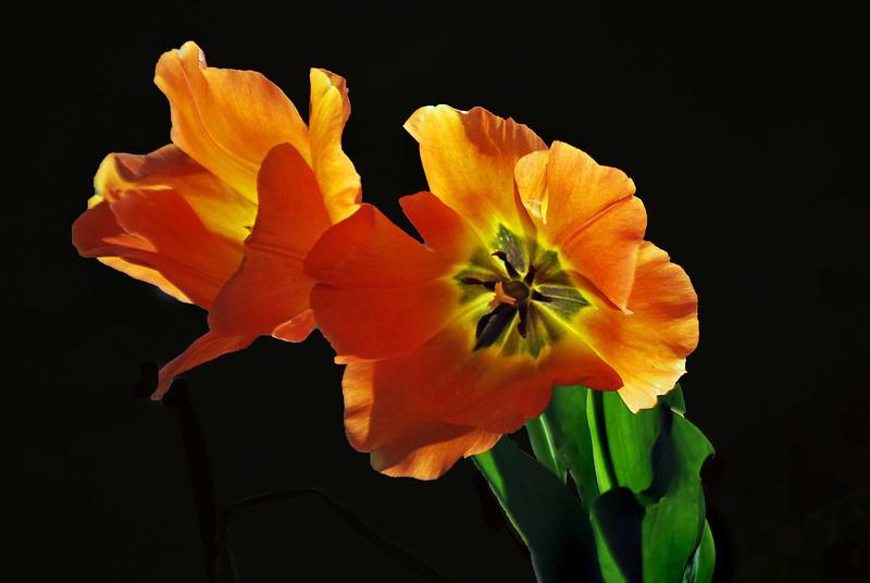 Orange-Tulips-039-C copy