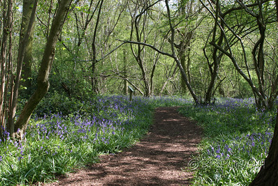 Bluebell Wood 2009