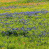 Bluebonnets and Indian Paintbrush along the Old Independence Rd., between Brenham and Independence.