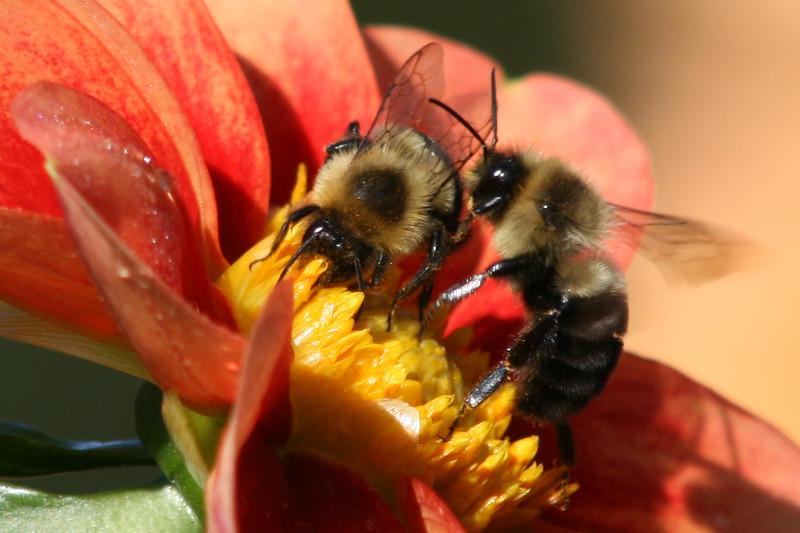 Bonneyville Bee Buddies<br /> <br /> Bees on a flower in the dahlia garden at Bonnville Mill in Bristol, IN.
