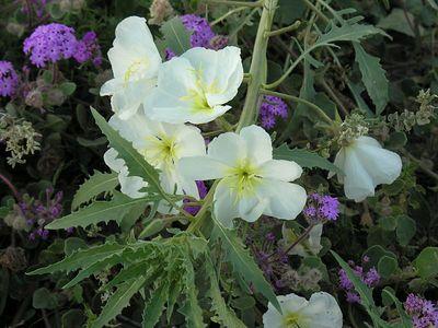 Evening Primrose (Oenothera deltoides) and Sand Verbena (Abronia villosa)