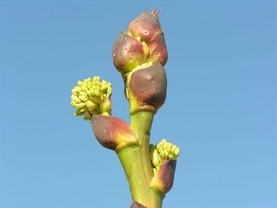 Desert Agave (Agave deserti)