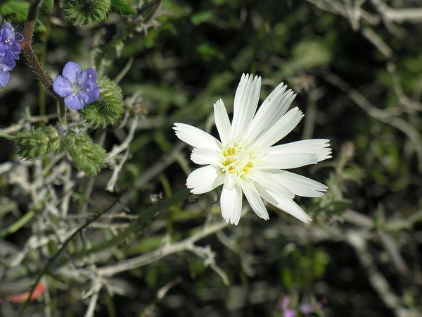 Desert Chicory (Rafinesquia neomexicana) and Wild-Heliotrope (Phacelia distans)