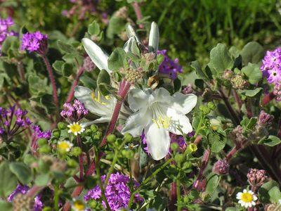 Desert Lily (Hesperocallis undulata) and Sand Verbena (Abronia villosa)