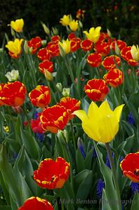 Tulips Explode
