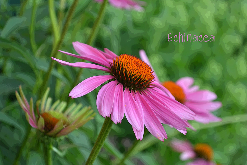 Echinacea text