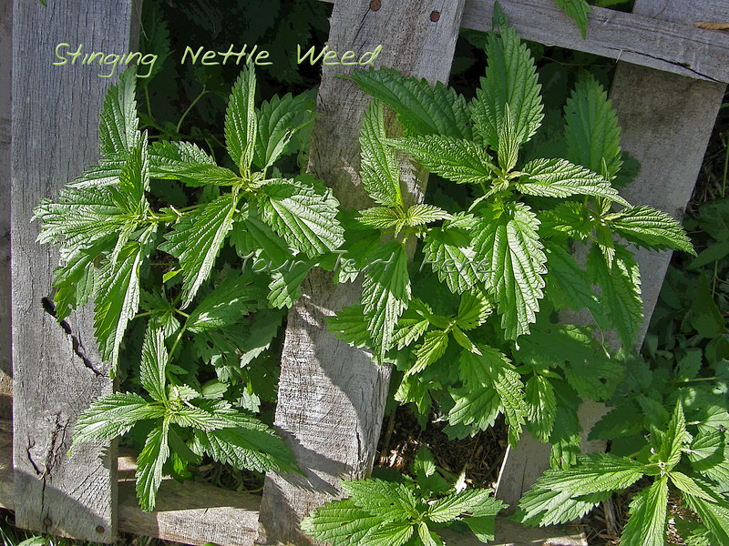 Stinging nettle picture with text