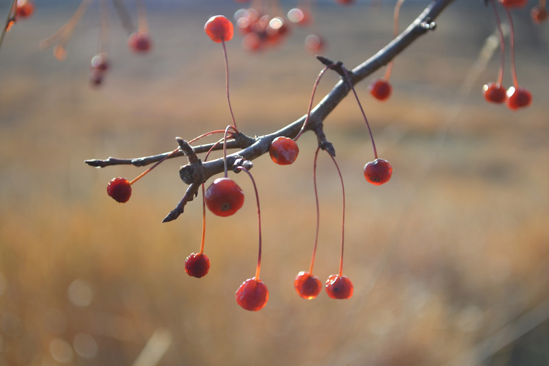 Winter Crabapples