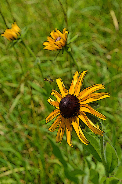 Black Eyed Susan Visitor