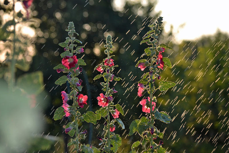 hollyhocks rain