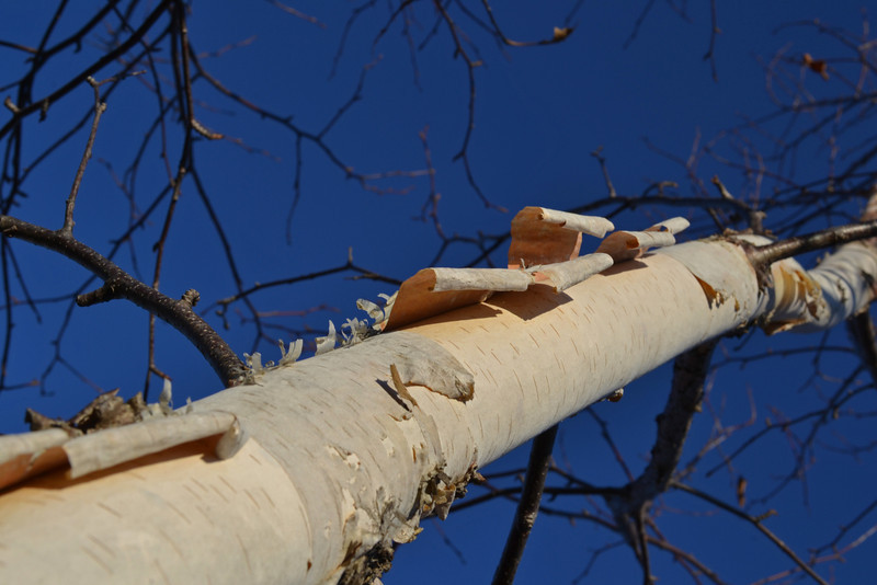 Birch Bark Peel