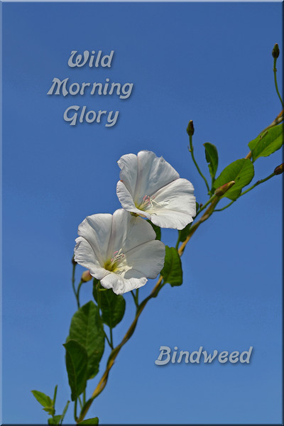 Bindweed or Wild Morning Glory