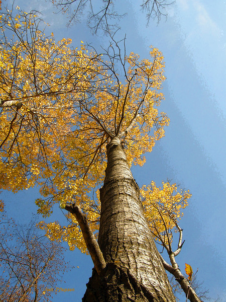 Poplar Trees