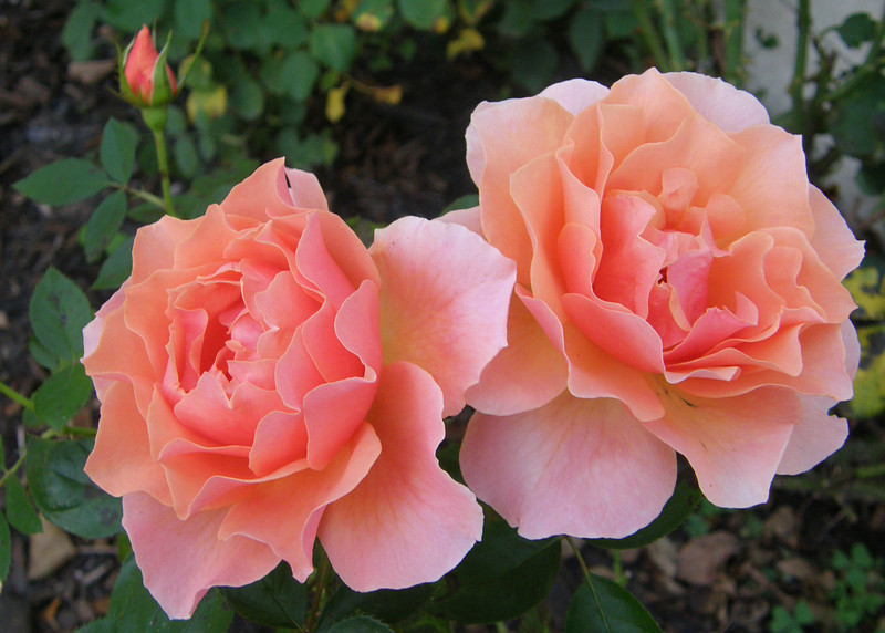 Gail's Apricot Rose