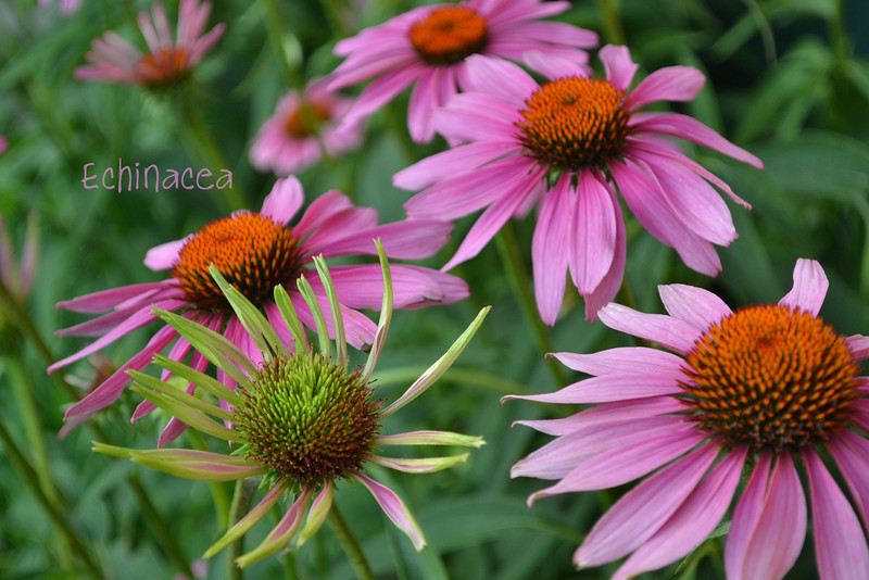 Echinacea with text picture