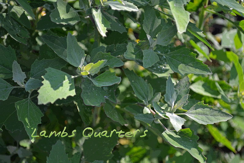 Lambs quarters picture with text