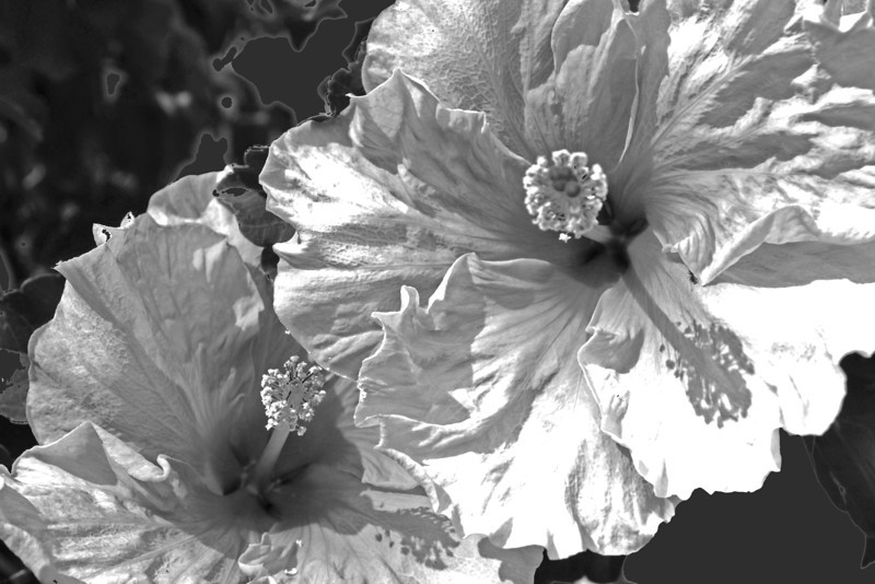 Hibiscus Abstract