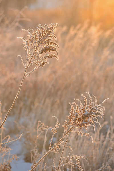 Goldenrod Sunrise