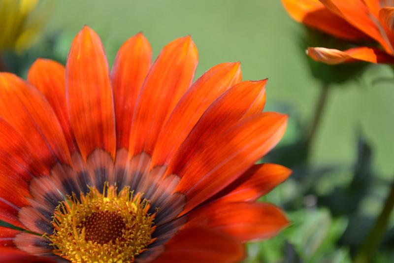 Red Gazania Daisy