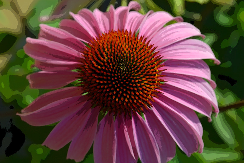 Echinacea in the Pink