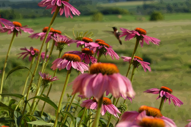 Echinacea with hummingbird