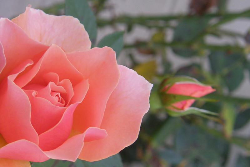 Gail's Rose