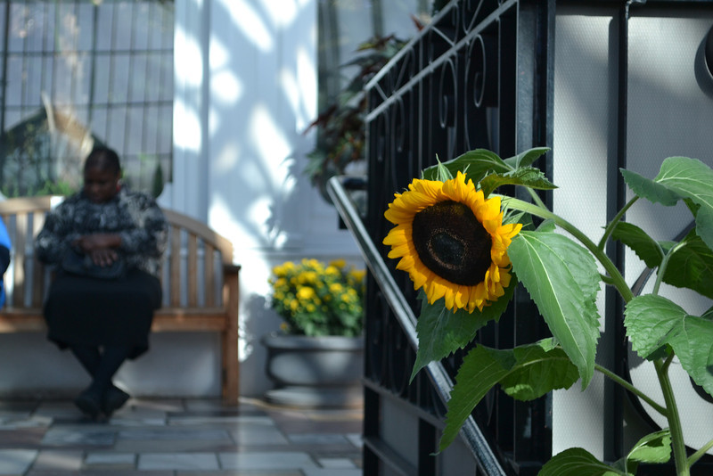 Conservatory Sunflower