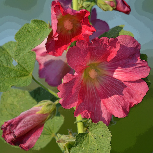 Pink Hollyhock Square